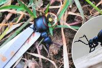 Nejnebezpečnější brouk v Česku? Majka fialová vás může i zabít