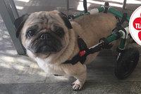Z množírny šla k majitelům, kteří jí zničili nožičky: Mopslík Nellinka potřebuje vozík