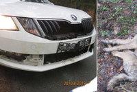 Mladou vlčici na Českolipsku srazilo auto: Vycpanou ji vystaví v muzeu