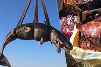 Talíře, tašky i kabely. Žaludek velryby ukrýval 22 kilogramů plastů, uhynula ona i mládě