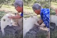 Muž na safari hladil lva přes plot: Málem přišel o ruku, je ve vážném stavu