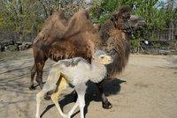 Zázrak v olomoucké zoo: Na dvoukopcové mládě čekali 20 let!