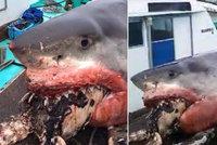 Příliš velké sousto i na žraloka bílého. Dvoutunová paryba se zardousila na mořské želvě
