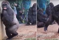 Gorilí rodiny zaskočil déšť. Znechuceně se před kapkami utekly schovat