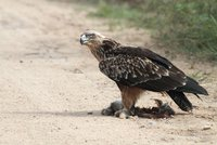 Lidé zuří! Pytláci pokáceli strom s mláďaty kriticky ohroženého orla
