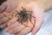 Osminohý unikát: Pražskou zoo zdobí chlupatá krasavice z Moravy, největší druh pavouka v Evropě