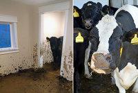Tři krávy byly měsíc zavřené v novostavbě: Proměnily ji v ruinu