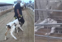 Odporný případ týrání zvířat: Pracovníci mlékárny novorozená telata ubili k smrti!