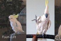 Papoušek Sněhulka miluje tanec. Kakadu umí 14 tanečních variací a přidává další