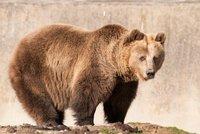 Medvěd pláchl přes vysoký ohradník a toulá se Alpami. Pokyn k odstřelu Italy rozlítil