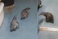 Byla by ryba? Tučňáci zašli do sushi baru, policie je opakovaně vyvedla