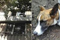 Na Děkance vyskočil z okna pes. Odplazil se do trávy, pomohli kolemjdoucí a strážníci