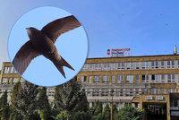 V nemocnici Podlesí v Třinci si hýčkají rorýse: Přizpůsobili jim i rekonstrukci