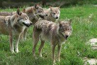 Smečka vlků v Teplicích nad Metují roztrhala několik ovcí: Chovatelé se bojí dalších útoků