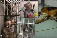 Opice ve svěrácích i krvácející psi. Ochránci zvířat natočili laboratoř hrůzy