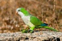 Tisíce papoušků zemřou? Madrid chce zatočit se zelenými imigranty