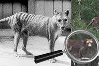 Tasmánský tygr žije? Měl být přes 80 let vyhynulý, vědci ho zpozorovali