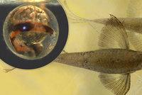 Vypadá jako motýl, a přitom je to ryba: Živoucí fosílii se podařilo rozmnožit poprvé