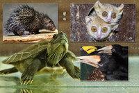 Mláďatům se v Zoo Praha daří: Narodili se okatí maki, nejmenší dikobraz, i se vylíhli růžoví holubi