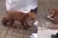 Roztomilá liška dostala přes hřbet hokejkou: Nechutné násilí lidi pobouřilo