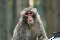 Opice na útěku: Šimpi a Tatik prchli do lesů