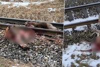 Šokující video: Vlk táhl zakousnutou srnu ke kolejím, vlak ji rozmetal po okolí