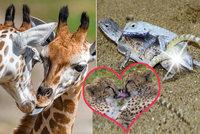 Když se partneři vybarvují a naparují: Láska kvete všude, i v zoologické zahradě