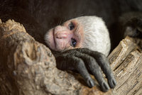 Radost v pražské zoo! Opičí ostrovy mají sněhobílý přírůstek, guerézí máma Lucie porodila 11. mládě