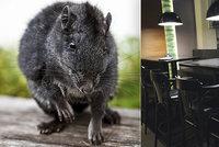 Vylidněné ulice zaplavily agresivní krysy. Z hladu se navzájem požírají, varují experti