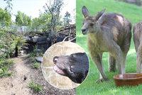 Noví tasmánští čerti přilákali tisíce návštěvníků! Zoo Praha musela kvůli naplněné kapacitě zavřít