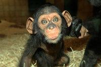Šimpanzí batole Caila je celebritou zoo v Plzni: Už se umí dorozumět