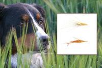 Ve vysoké trávě číhá nebezpečí. Psům může způsobit vážné zdravotní problémy