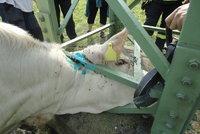 Hasiči zachraňovali zvědavou krávu: Uvízla ve vedení vysokého napětí