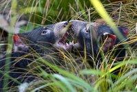 Děsivý řev, rudé uši a upíří špičáky! Takhle se tasmánští čerti zabydleli v Zoo Praha