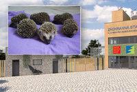 Záchranná stanice ošetřila už 4000 zvířecích pacientů. Jubilanty se stala malá ježčata