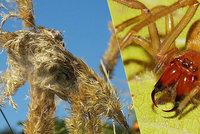 Vědci našli v Česku jedovatou zápřednici! Pavoučí kousnutí způsobuje i dočasné ochrnutí