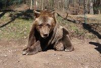 Smutek v plzeňské zoo: Museli utratit Pištu (†39)! Nejstarší medvěd u nás už nemohl chodit
