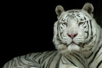 Zoo Liberec přišla o svou chloubu: Veterináři museli uspat tygra Parise!