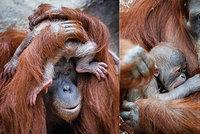 Radost v Zoo Praha: Orangutaní miminko je kluk jak buk, odhalila fotografie