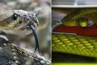 Nejdřív mamba, teď další jedovatý had na útěku? Veterináři: S černými chovy to je složité