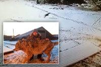 Farmář přepral holýma rukama vlka, umlátil ho a uškrtil: Zabil mu prý dva psy a pokousal koně
