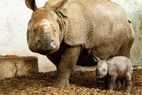 Marušce se narodila holčička: Nosorožčí dáma z Plzně zakládá chov v Polsku