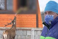 Petra u jeho domu napadl jelen: Paroháč je v obci za atrakci, místní ho milují