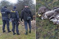 Čtyři orly mořské na Klatovsku někdo otrávil: Policisté případ odložili, viník se nenašel