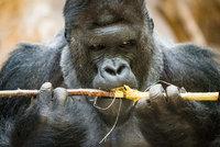Pražská zoo plánuje milionové investice: Zbrusu nový pavilon goril i výběhy pro zubry