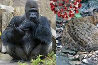 Covid-19 v pražské zoo: Nemocné šelmy dostávají antibiotika, Richardovi už je lépe