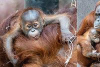Vzácná chvíle u orangutanů v Zoo Praha. Diri už máma dovolí chovat malého brášku