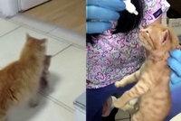 Matka roku dojala lékaře: Toulavá kočka sama vzala svá nemocná koťata k veterináři