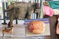 Slonici v Thajsku odoperovali obří ledvinový kámen: Šutrák vážil dvě kila!