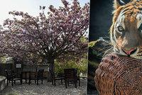 Pražská zoo i botanická zahrada znovu otevírají: Tyhle novinky čekají na návštěvníky!